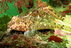 Scalyhead Sculpin - Sculpin Family