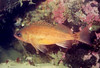Puget Sound Rockfish - Scorpionfish Family