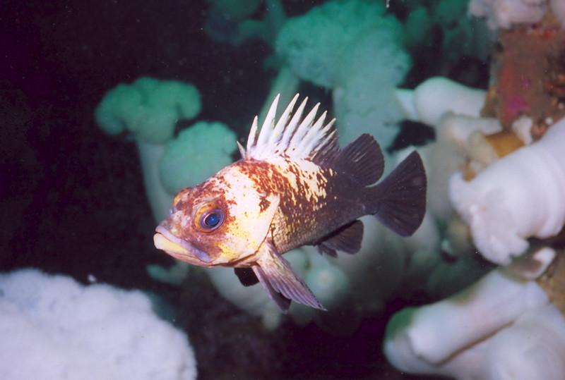 Quillback Rockfish - Scorpionfish Family
