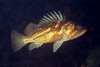 Copper Rockfish - Scorpionfish Family
