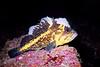 China Rockfish - Scorpionfish Family